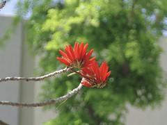 Red Flower on Tree (hasham2) Tags: tree flower colors spring pentax k3 bokeh cosina zoom