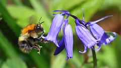 Common Carder Bee - Male.  Bombus pascuorum (jaytee27) Tags: bombuspascuorum commoncarderbumblebeemale naturethroughthelens