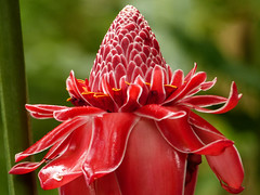 Torch Ginger / Etlingera eliator, Trinidad (annkelliott) Tags: trinidad westindies asawrightnaturecentre trail nature flora plant flower flowers wildflower tropical etlingeraeliator torchginger gingerflower zingiberaceae red bracts large spectacular colour colourful forest rainforest macro closeup outdoor 16march2017 fz200 fz2004 annkelliott anneelliott ©anneelliott2017 ©allrightsreserved