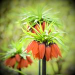 Red Fritillaria thumbnail
