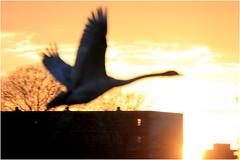 Swan (cees van gastel) Tags: ceesvangastel canoneos550d zwaan swan birds vogels natuur breda waterdonkenbreda nature flying vliegend