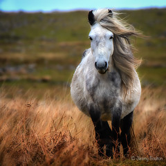 Dartmoor Pony (JKmedia) Tags: boultonphotography cadoverbridge dartmoor pony equine soft windy windswept horse fat grasses hill wild april 2017 animals white grey hair mane looking n15c