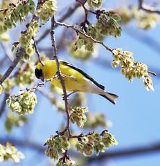 American Goldfinch -- Male (Carduelis tristis); Denver Audubon Nature Center, Waterton, CO [Lou Feltz] (deserttoad) Tags: bird wildbird wildlife nature outdoors tree behavior songbird goldfinch colorado
