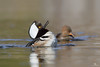 Parade nuptiale (Maxime Legare-Vezina) Tags: canard duck bird oiseau nature wildlife animal canon spring quebec canada