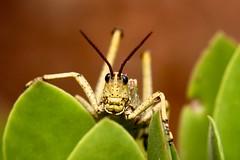 big little thing (peet-astn) Tags: grasshopper green gauteng pretoria southafrica insect caelifera orthoptera