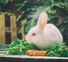 (CarbonNYC [in SF!]) Tags: bunny carrot ears eye food howardlangton rabbit white whiterabbit carbonnyc howardlangtoncommunitygarden communitygarden garden soma sanfrancisco sf carbonsf