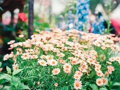 000044840003 (matthew_image) Tags: 80mm f28 mamiya m645 645 1000s film kodak portra 160 iso iso160 filmisnotdead films portra160 flower flowers hong kong hongkong hk hongkonger color colours colour colorful colors colourful