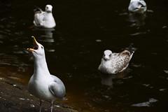 Feed me! (Marta Marcato) Tags: seagull ststephensgreen dublin feeding food scream birds water lake nikond7200 gabbiani acqua lago dublino cibo nutrire grido uccelli irlanda ireland