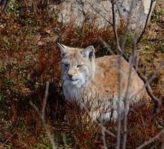 DSC_0492 (sirispj) Tags: langedrag eurasianlynx gaupe lynxlynx lynx