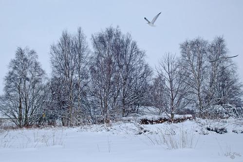 Snow, trees & two gulls