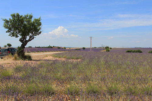 Lavender field of Provence