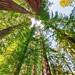 Redwood Tops