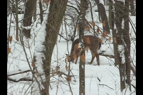 V I D E O -- Deer Grove Woods Forest -- Winter Snow Deer -- Doe & Buck -- I Close My Eyes -- Eyes Close Up -- Video 07