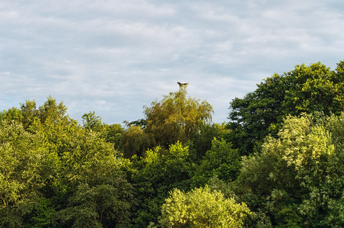 Buzzard landing on treetop