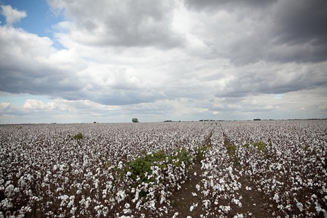 cotton-wedding-fields