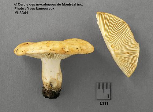 Russula zonatella Y. Lamoureux nom. prov. / Russule à zones fines