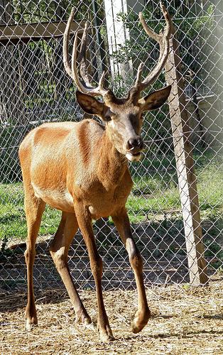 EASTERN EUROPEAN RED DEER (Cervus elaphus hippelaphus) Ciervo colorado de los cárpatos - macho - / MALE / (314 x 500) Original=(2209 x 3517)