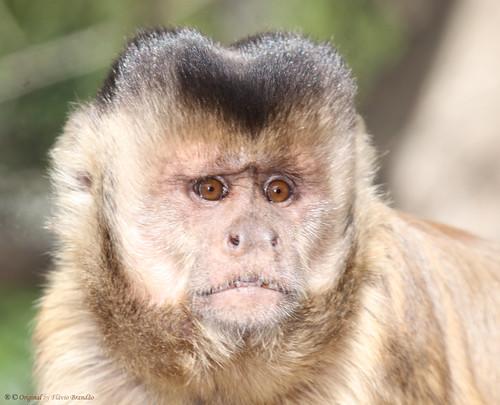 Série com o Macaco Prego (Cebus apella) - Series with the Capuchin monkey - 26-06-2010 - IMG_3696