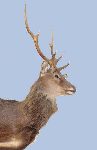 SIKA DEER -male- (Cervus nippon) Ciervo sika -macho- ...... (324 x 500) Original=(2218 x 3427)