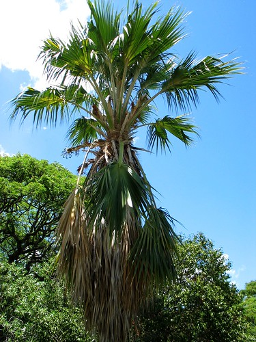 Pritchardia napaliensis