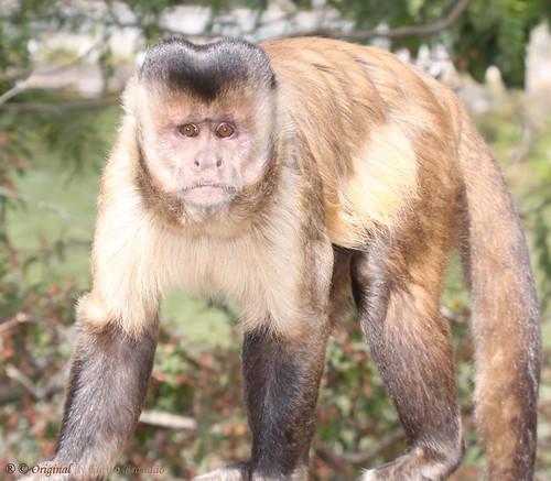 Série com o Macaco Prego (Cebus apella) - Series with the Capuchin monkey - 26-06-2010 - IMG_3684