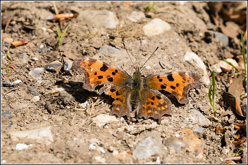 A rather tatty Comma Butterfly