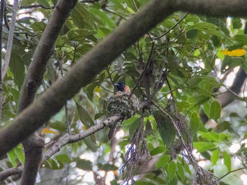 サンコウチョウの巣 ー 森戸川