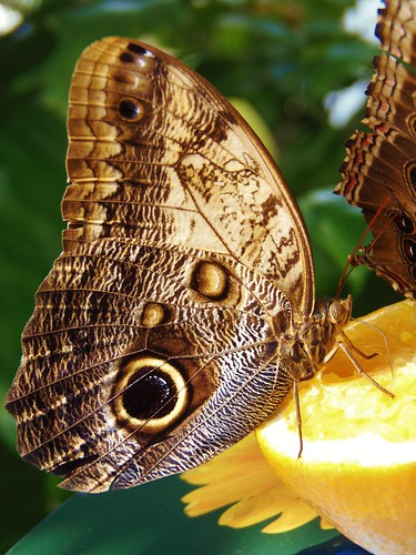 RHS Hampton Court Palace Flower Show 2017 - Giant Owl Butterfly
