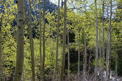 Aspens on the way down
