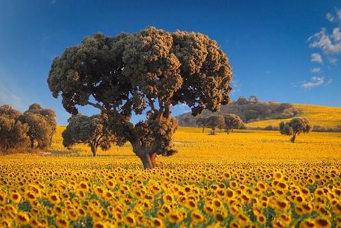 Oz - Sunflowers