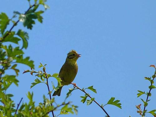Yellowhamme  (Emberiza citrinella)