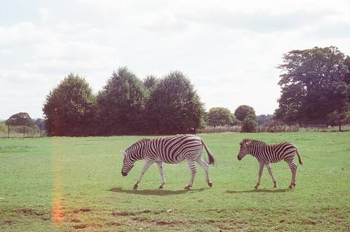 om10 - cotswold zebras