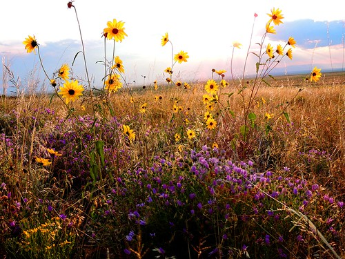 Sunflowers and Asters in Grasslands