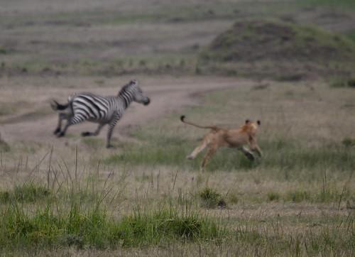 attaque lion3