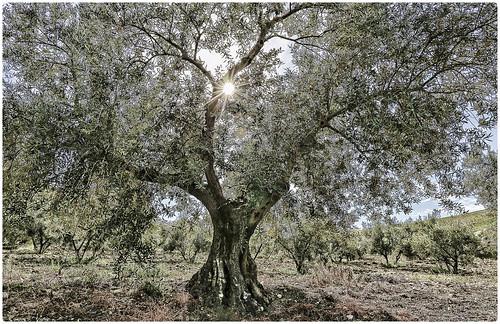 Este olivo y esta leyenda que escribí están dedicados a Lourdes Sánchez con todo mi Aprecio y Amistad. Por acompañarme en esta aventura del Flickr desde mis principios.