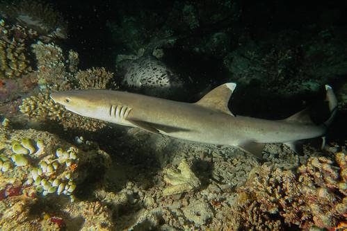 Squalo Pinna Bianca di Barriera, Immersione notturna A Mayaa Thila. White Tip Reef Shark in night dive at Mayaa Thila. (Triaenodon Obesus).