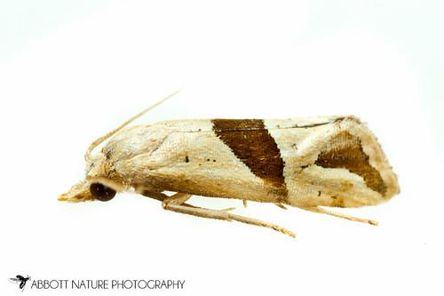 Broad-patch Carolella Moth - Hodges#3764 (Eugnosta sartana) 20171007_3174.jpg