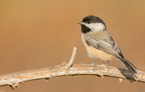 Black-capped Chickadee (Poecile atricapillus) - Point Roberts, WA