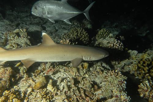 White Tip Reef Shark and Giant Jack. (Triaenodon Obesus and Caranx Ignobilis).