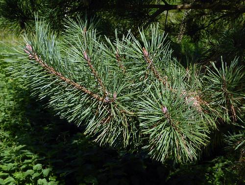 Pinus densiflora Siebold & Zucc. 1842 (PINACEAE).
