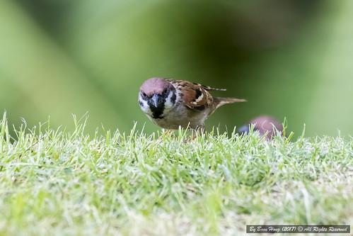 Eurasian tree sparrow (Passer montanus)_DSC5189-1
