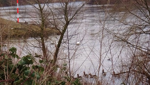 Cisnes mudos en el puerto de Dresde - Pieschen