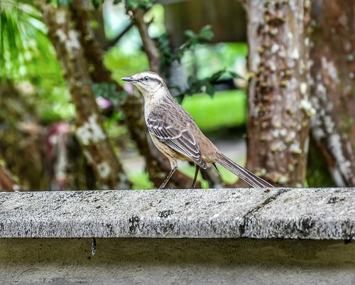 Mimus saturninus modulator - Chalk-browed Mockingbird (Gould, 1836)