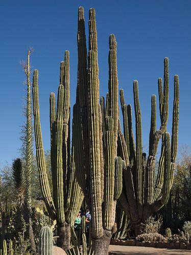 Giant cardons, Desert Botanical Garden