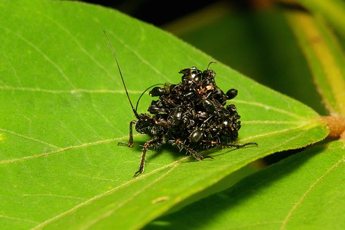Assassin Bug Nymph (Acanthaspis sp., Reduviidae)