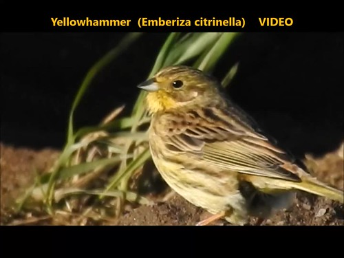 Yellowhammer (Emberiza citrinella) 11-02-2018