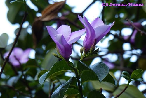 Palay Rubber Vine Flower, El Salvador