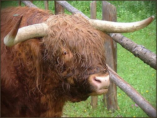 Highland cattle (Scottish Gaelic: Bò Ghàidhealach; Scots: Heilan coo) 2006 S 582 Log3_17 2 6869 Phot3Logar2006 fll
