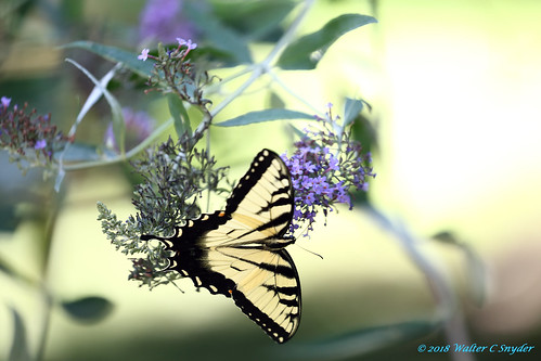 Return to the Butterfly Bush No 1