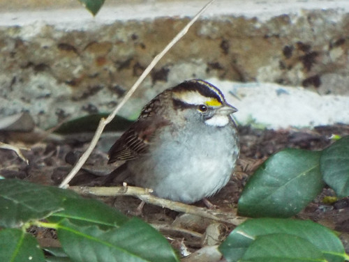 White-Throated Sparrow, November 10, 2018, Green Park, Allen, Texas